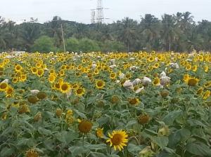morning_walk_sunflower